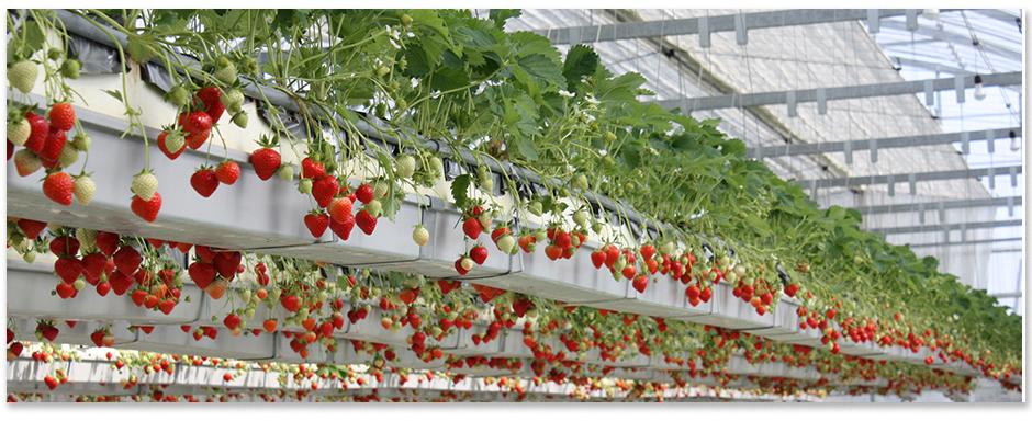 Strawberry LED Grow Bulb 12W
